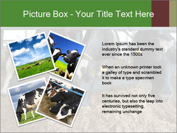 Cows feeding PowerPoint Templates - Slide 23