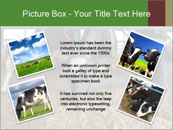 Cows feeding PowerPoint Templates - Slide 24