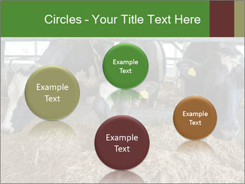 Cows feeding PowerPoint Templates - Slide 77
