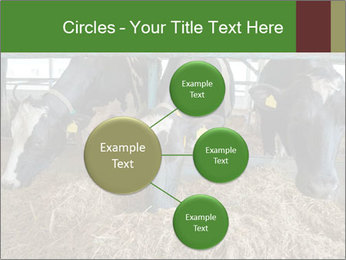 Cows feeding PowerPoint Templates - Slide 79