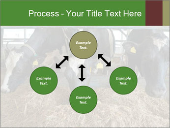 Cows feeding PowerPoint Templates - Slide 91