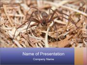 Brown Recluse PowerPoint Templates