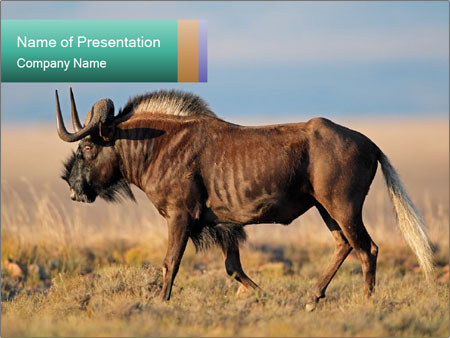 Male black wildebeest PowerPoint Templates