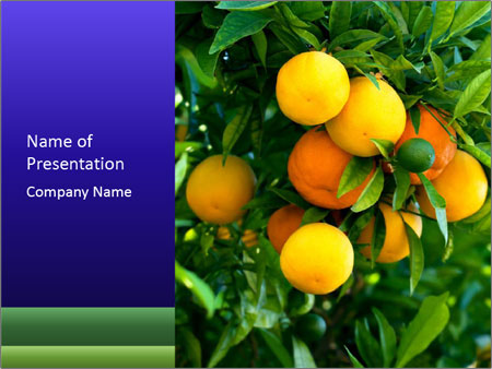 Bunch of ripe oranges hanging on a tree PowerPoint Templates