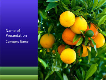 Bunch of ripe oranges hanging on a tree PowerPoint Templates - Slide 1