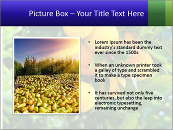 Bunch of ripe oranges hanging on a tree PowerPoint Templates - Slide 13