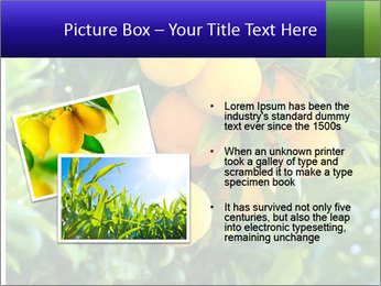 Bunch of ripe oranges hanging on a tree PowerPoint Templates - Slide 20