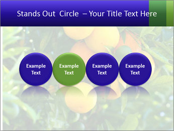 Bunch of ripe oranges hanging on a tree PowerPoint Templates - Slide 76