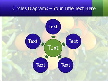 Bunch of ripe oranges hanging on a tree PowerPoint Templates - Slide 78
