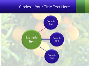 Bunch of ripe oranges hanging on a tree PowerPoint Templates - Slide 79