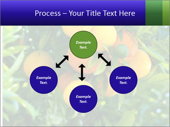 Bunch of ripe oranges hanging on a tree PowerPoint Templates - Slide 91