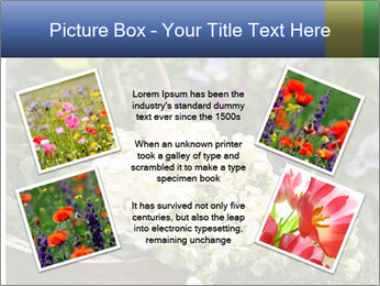 Freshly picked cream Matthiola Incana PowerPoint Template - Slide 24