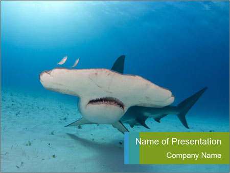 Shark in Bahamas PowerPoint Templates