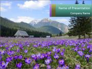 Crocuses in Chocholowska valley PowerPoint Templates
