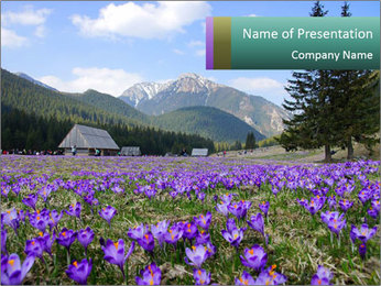 Crocuses in Chocholowska valley PowerPoint Template - Slide 1