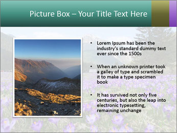 Crocuses in Chocholowska valley PowerPoint Template - Slide 13