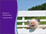 Funny Pink Piggy PowerPoint Templates