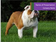 English bulldog standing in the grass PowerPoint Templates