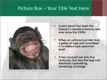 Monkey between Chimpanzee and Bonobo smiling PowerPoint Templates - Slide 13