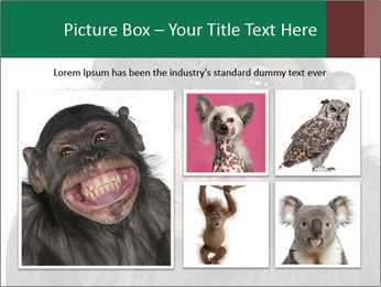 Monkey between Chimpanzee and Bonobo smiling PowerPoint Templates - Slide 19