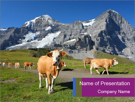 Сows in Alps PowerPoint Templates