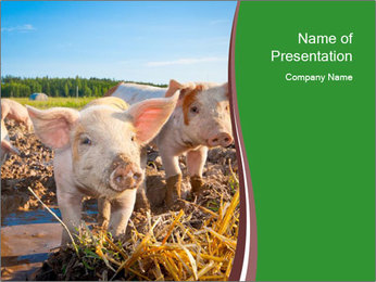Pigs PowerPoint Template - Slide 1