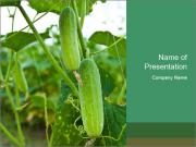 Cucumbers In Greenhouse PowerPoint Templates