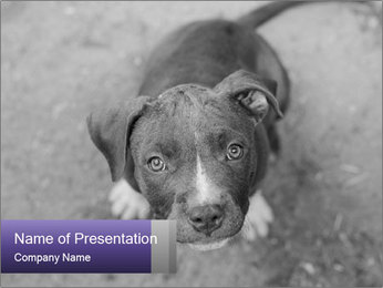 Pit bull puppy. PowerPoint Template - Slide 1