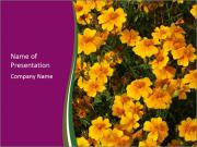 Marigold Flowers PowerPoint Template