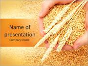 L'homme les mains avec du grain, sur fond de blé Modèles des présentations  PowerPoint
