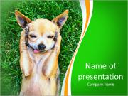 A cute chihuahua with his paws on his head covering his ears PowerPoint Templates
