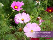 Pink Cosmos Flowers PowerPoint Template