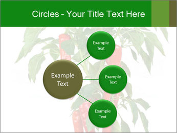 Chili pepper plant PowerPoint Templates - Slide 79