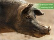 Big Pig PowerPoint Templates