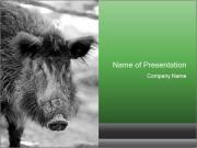 Wild Pig PowerPoint Templates