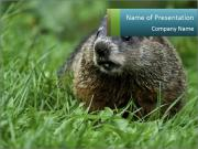 Ground Squirrel PowerPoint Templates