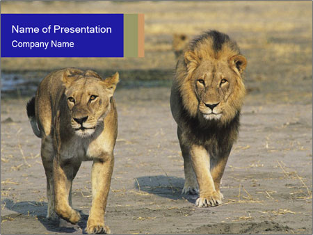 Pair of Lions walking PowerPoint Template