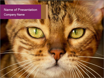 Bengal cat PowerPoint Template