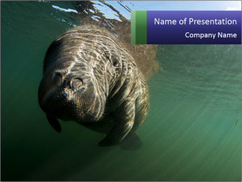 Florida Manatee PowerPoint Template - Slide 1
