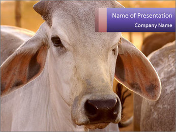 Brahman at sunrise PowerPoint Template