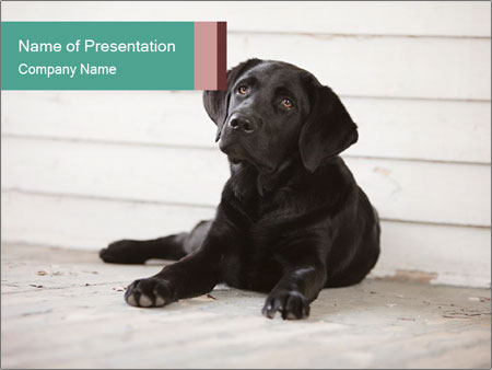 Adorable black lab PowerPoint Templates