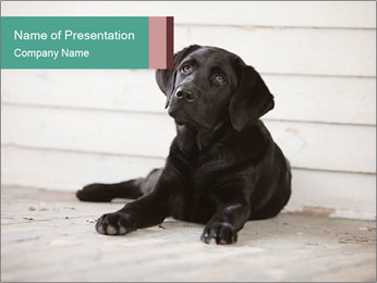 Adorable black lab PowerPoint Template