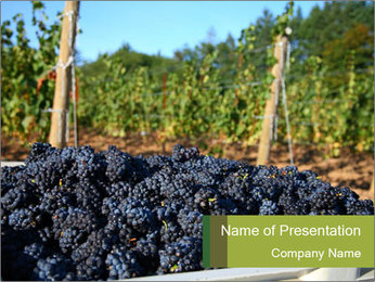 Pinot Noir grapes PowerPoint Template