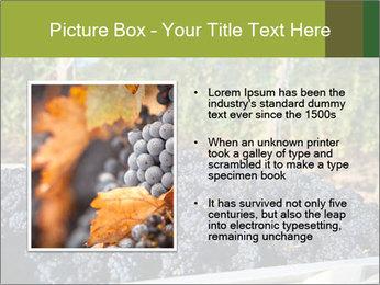 Pinot Noir grapes PowerPoint Templates - Slide 13