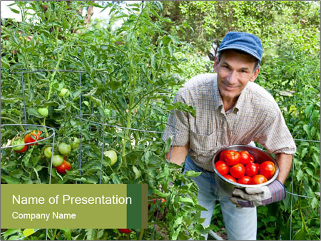 Man picking tomatoes PowerPoint Template