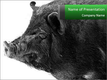 Wild Black Pig PowerPoint Template