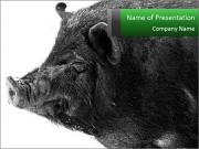 Wild Black Pig PowerPoint Templates