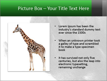 Wild Black Pig PowerPoint Templates - Slide 13