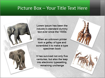 Wild Black Pig PowerPoint Templates - Slide 24