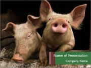 Farm Pigs PowerPoint Templates